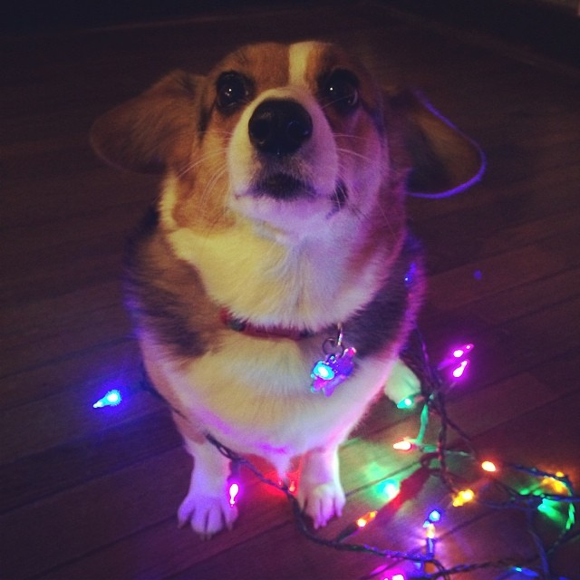 Conney the Christmas Corgi